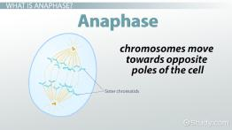 Anaphase: Definition & Concept