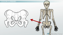 Bones of the Pelvis: Definition and Function preview