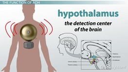 What is ADH? - Definition & Function