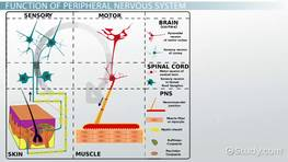 Peripheral Nervous System: Definition, Function & Parts