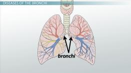 Bronchi: Anatomy, Function & Definition