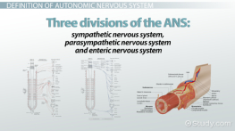 Autonomic Nervous System: Function, Definition & Divisions