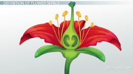 Flower Sepals: Function & Definition