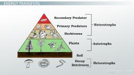 What is an Energy Pyramid? - Definition & Examples