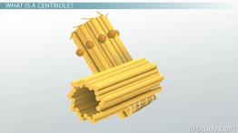 Centriole: Definition, Structure & Function