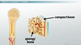 Compact Bone: Definition, Structure & Function