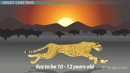 Cheetah Life Cycle: Lesson for Kids