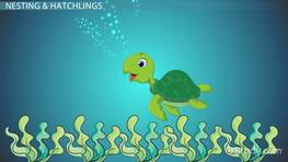 Sea Turtle Lesson for Kids: Facts & Life Cycle