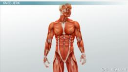 Diagnostics Related to the Muscular System