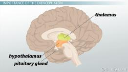 Diencephalon: Definition, Location & Function