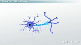 Axons: Definition & Function