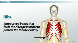 Bones of the Vertebral Column and Ribs: Definition and Function preview
