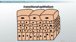 Functions of Transitional Epithelium Tissue