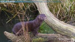 Sea Mink: Facts & Extinction