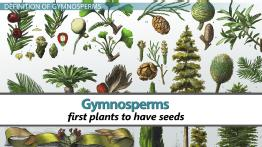 Gymnosperms: Characteristics, Definition & Types