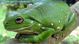 Cutaneous Respiration in Amphibians