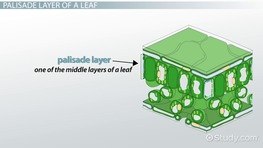 Palisade Layer of a Leaf: Function & Definition