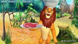 What do Lions Eat? - Lesson for Kids