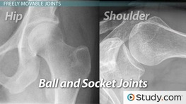 Joints: Where Bones Connect and Move