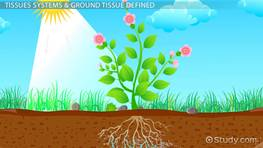 Ground Tissue in Plants: Function, System & Definition