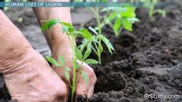 Lignin: Definition, Properties & Function