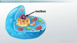 What Is the Function of the Nucleus in Eukaryotic Cells?