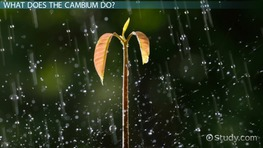 Cambium: Definition & Function