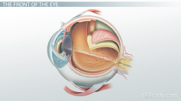 Parts of the Eye and their Functions - Video & Lesson ...