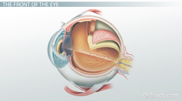 Parts of the Eye and their Functions - Video & Lesson Transcript ...