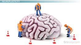 What is Neuroplasticity? - Definition & Examples