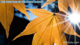 Plant Shoot System: Structure & Function