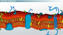 What is a Cell Membrane? - Definition, Location & Facts