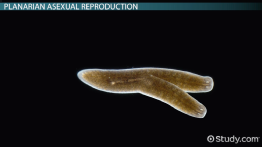 Reproduction of Planaria Worms