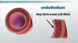 Endothelial Cells: Function & Explanation