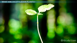 Dicotyledon Plants: Examples & Definition