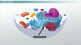 rRNA: Sequence, Function & Synthesis