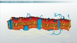 Plasma Membrane of a Cell: Definition, Function & Structure