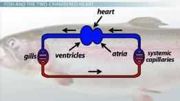 Two-Chambered Heart: Definition & Anatomy