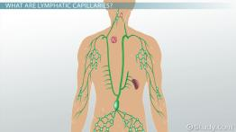 Lymphatic Capillaries: Function & Explanation