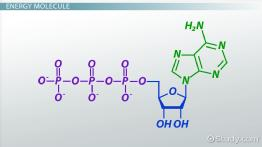 ATP: Definition & Molecules