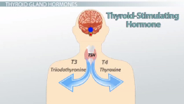 Thyroid Stimulating Hormone Blood Test: Description & Optimal Ranges