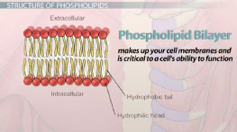 What is a Phospholipid? - Structure, Functions & Composition