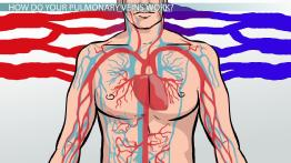 Pulmonary Veins: Function, Definition & Anatomy