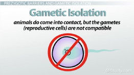 Gametic Isolation: Definition & Example