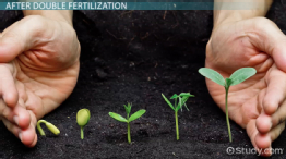 Double Fertilization in Angiosperms: Definition & Process