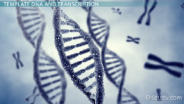 Template DNA: Definition & Concept