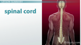 Anatomy of the Spinal Cord: Function & Explanation