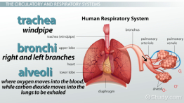 What Are the Organ Systems of the Human Body? - Video
