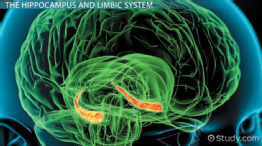 Hippocampus: Definition, Function & Location