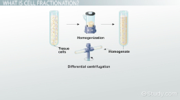 Cell Fractionation: Definition, Steps & Methods